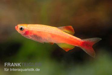 Feuerkardinal, Tanichthys albonubes Fire Red