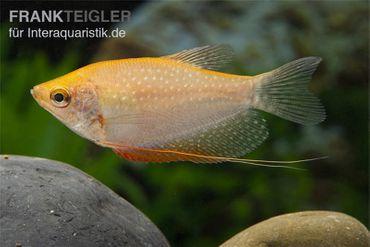 Goldener Mosaikfadenfisch, Trichopodus leerii Gold, DNZ, 5-6 cm