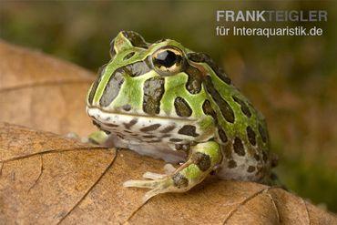 Pacman-Frog, Schmuckhornfrosch, Ceratophrys cranwelli – Bild 1