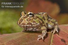 Pacman-Frog, Schmuckhornfrosch, Ceratophrys cranwelli – Bild 2