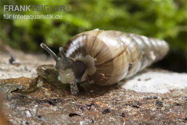 Trompetenschnecke, Subulina sp. Nigeria – Bild 1