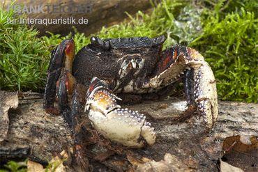 Große Mangrovenkrabbe, Goniopsis pelii – Bild 3