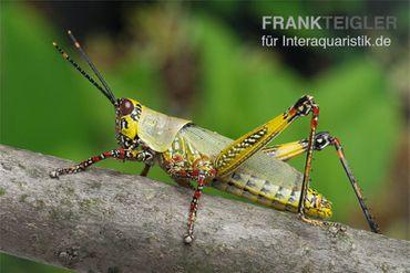 Harlekinschrecke, Zonocerus variegatus – Bild 5