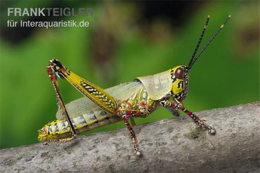 Harlekinschrecke, Zonocerus variegatus – Bild 1