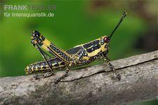 Harlekinschrecke, Zonocerus variegatus – Bild 6