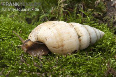 Weisse Hausschnecke, Limicolaria flammea unicolor WHITE – Bild 4