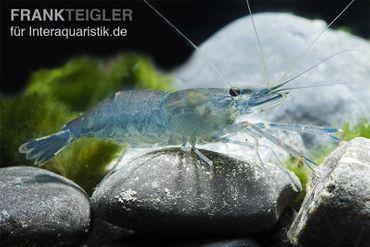 Hellblaue Macrobrachium, Macrobrachium sp. River Akio – Bild 1
