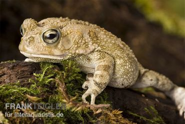Pantherkröte, Bufo regularis