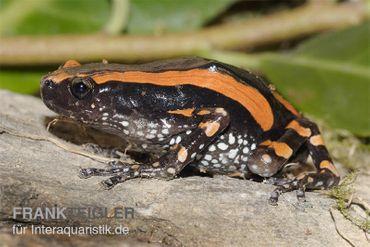 Gestreifter Wendehalsfrosch, Phrynomantis bifasciatus