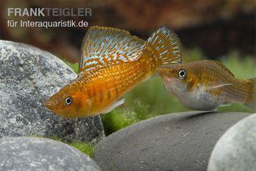 Kupfermolly, Poecilia velifera – Bild 2
