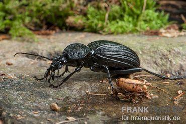 Tiger Beetle, Tefflus megerlei