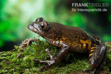 Big-Eye Frog, Leptopilis spec. Big-Eye Frog