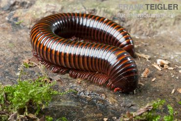 Orange-Striped-Millipede, Spirostreptus hamatus