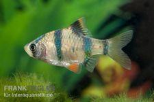 Sumatrabarbe, Barbus tetrazona, DNZ