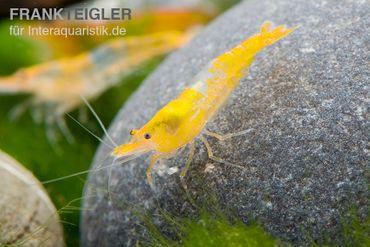 Yellow Rili Shrimp, Neocaridina davidi