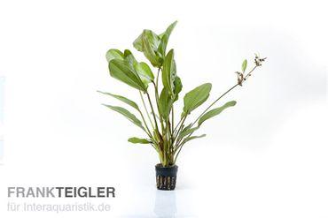 """Echinodorus """"Atlandsberg"""", Topf"""
