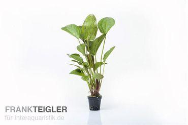 """Echinodorus """"Paul Kloecker"""", Topf"""