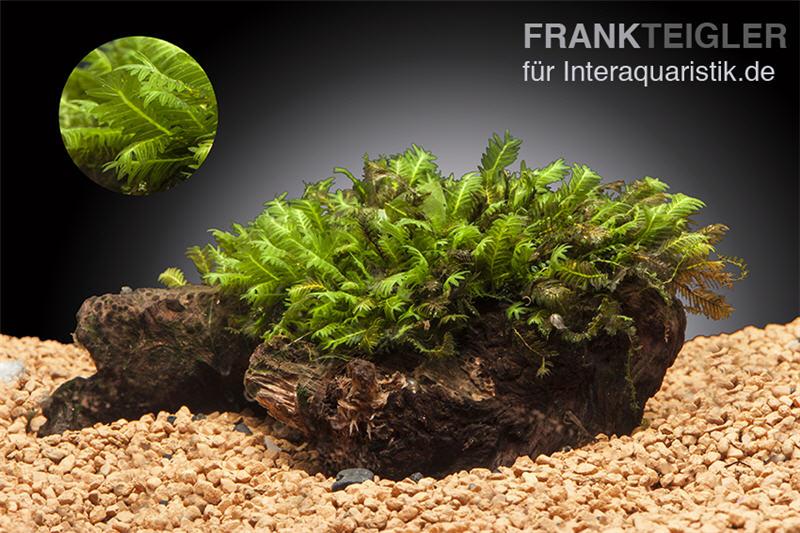Phoenix Moos Fissidens Fontanus Portion Pad Aquariumpflanzen