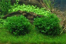 Zartes Lebermoos, Monosolenium tenerum, 100 ml Portion – Bild 2