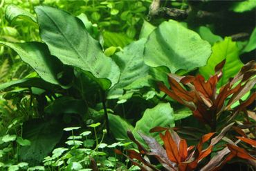 Riesen Speerblatt, Anubias barteri calidiifolia, Topf – Bild 2