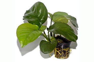 Riesen Speerblatt, Anubias barteri calidiifolia, Topf – Bild 1