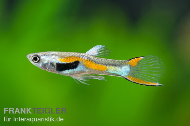 Poecilia reticulata endler images for Endler guppy