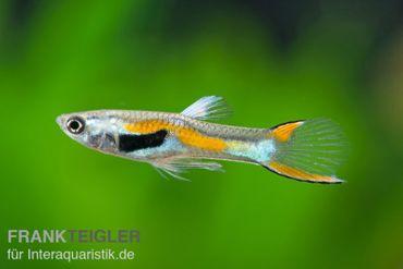 Endler Guppy, Poecilia wingei (Minifisch) – Bild 1