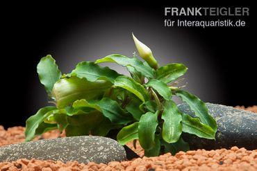 Bucephalandra spec. Green Velvet