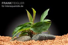 Piptospatha ridley, Topf