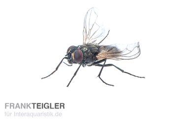 Krull-/Stummelfliegen, Terflys, 500 ml Zuchtansatz – Bild 2