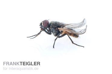 Krull-/Stummelfliegen, Terflys, 500 ml Zuchtansatz – Bild 1