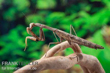 Afrikanische Gottesanbeterin im Mix, Sphodromantis spec. – Bild 2
