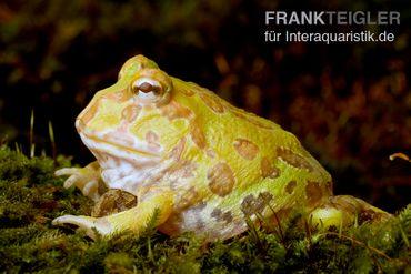Albino Pacman-Frog, Schmuckhornfrosch, Ceratophrys cranwelli albino