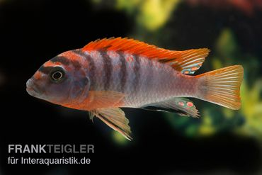 "Labidochromis hongi ""Red Top Schweden"", extra rot, DNZ"