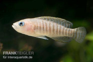 Breitstreifen-Schneckenbuntbarsch, Neolamprologus similis, DNZ