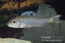 Augenfleck Maulbrüter, Ectodus descampsii, DNZ