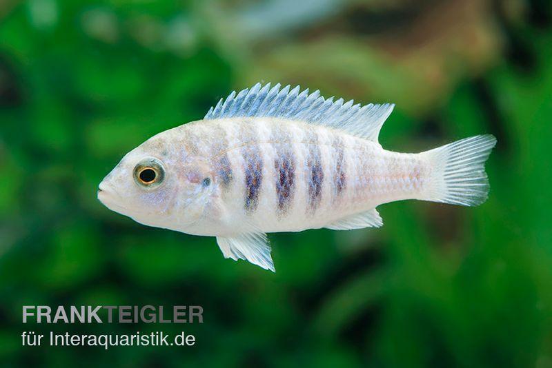 Labidochromis spec chisumulae mbweca thumbi dnz tiere for Lebendfutter zierfische