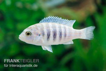 Labidochromis spec. CHISUMULAE MBWECA THUMBI, DNZ