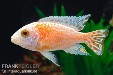 Fsh Aulonocara spec. Perlmutt-Firefish (Hybride), DNZ