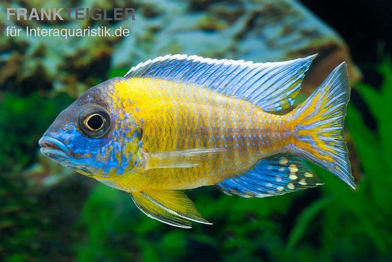 aulonocarasteveni blue neon hai reef dnz tiere zierfische barsche skalare malawisee cichliden