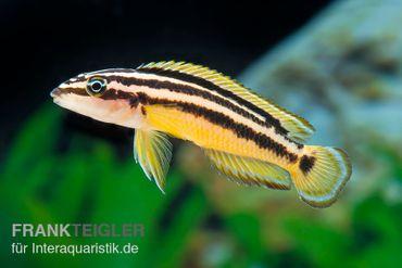 Streifen-Schlankcichlide, Julidochromis ornatus YELLOW, DNZ