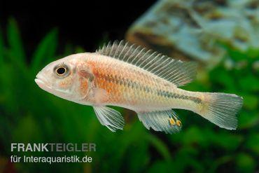 Haplochromis spec. HIPPO POINT SALMON, DNZ