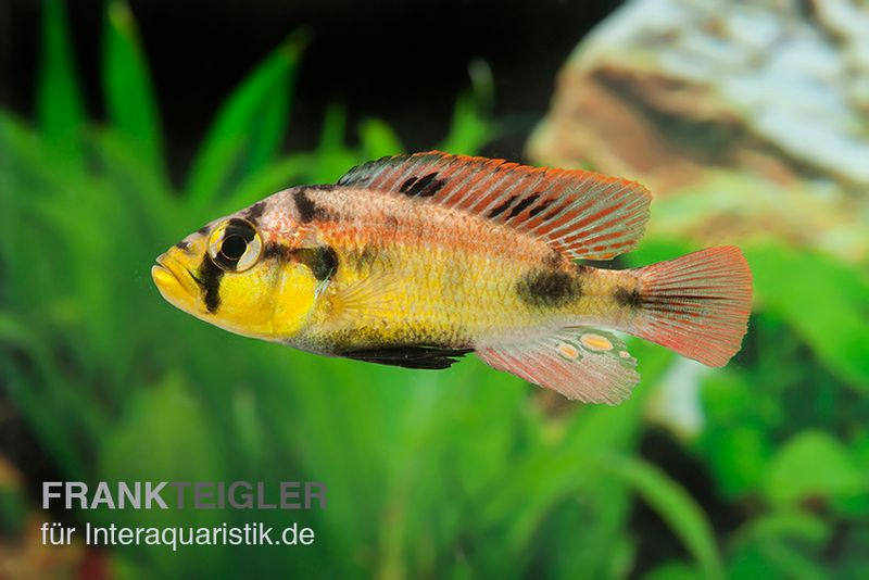 Papyrus maulbr ter astatotilapia aeneocolor yellow belly for Lebendfutter zierfische