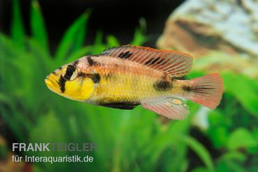 Papyrus-Maulbrüter, Astatotilapia aeneocolor Yellow Belly, DNZ
