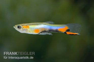 "Sky Blue Endler Guppy, Poecilia wingei ""Sky blue"""