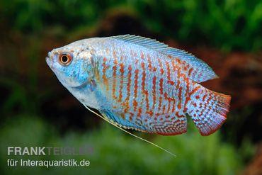 Zwergfadenfisch Neon-blau, Colisa lalia – Bild 1