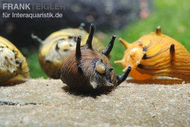 Sun-Snail, Kronenschnecke, Clithon subgranosus