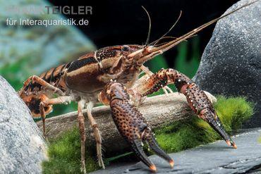 Scarface Flusskrebs, Procambarus ouachitae – Bild 2
