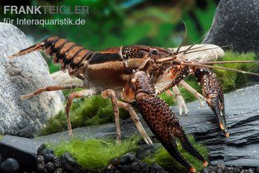 Scarface Flusskrebs, Procambarus ouachitae – Bild 1