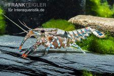 Maikäferkrebs, Procambarus spiculifer – Bild 1
